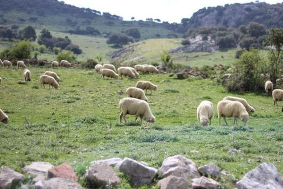 Feria del queso artesanal de Villaluenga del Rosario - ovejas