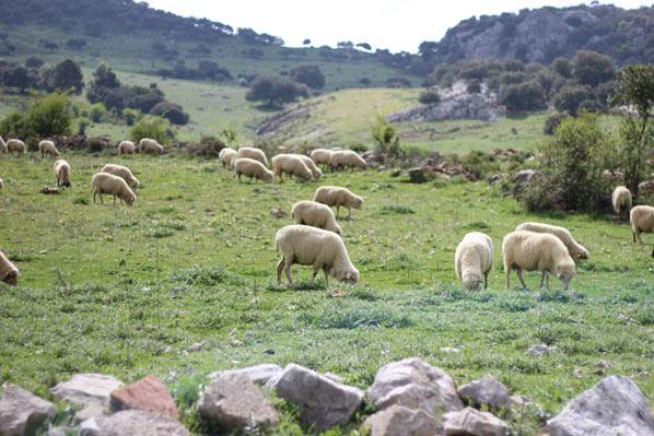 Feria del queso artesanal de Andalucía en Villaluenga del Rosario - ovejas